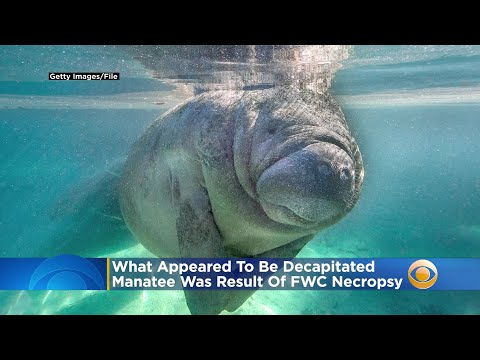 Manatee Mystery Solved: What Appeared To Be Decapitated Sea Cow Was Result Of FWC Necropsy