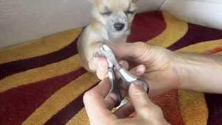 Стрижка когтей у собаки чихуахуа видео