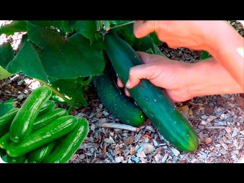 Download Como Y Cuando Cosechar Pepino    Cultivo Del Pepino    La Huertina De Toni