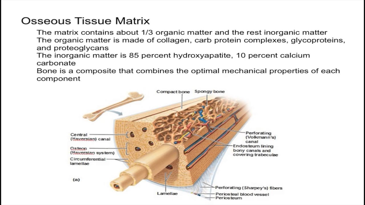 Osseous Tissue Matrix Youtube