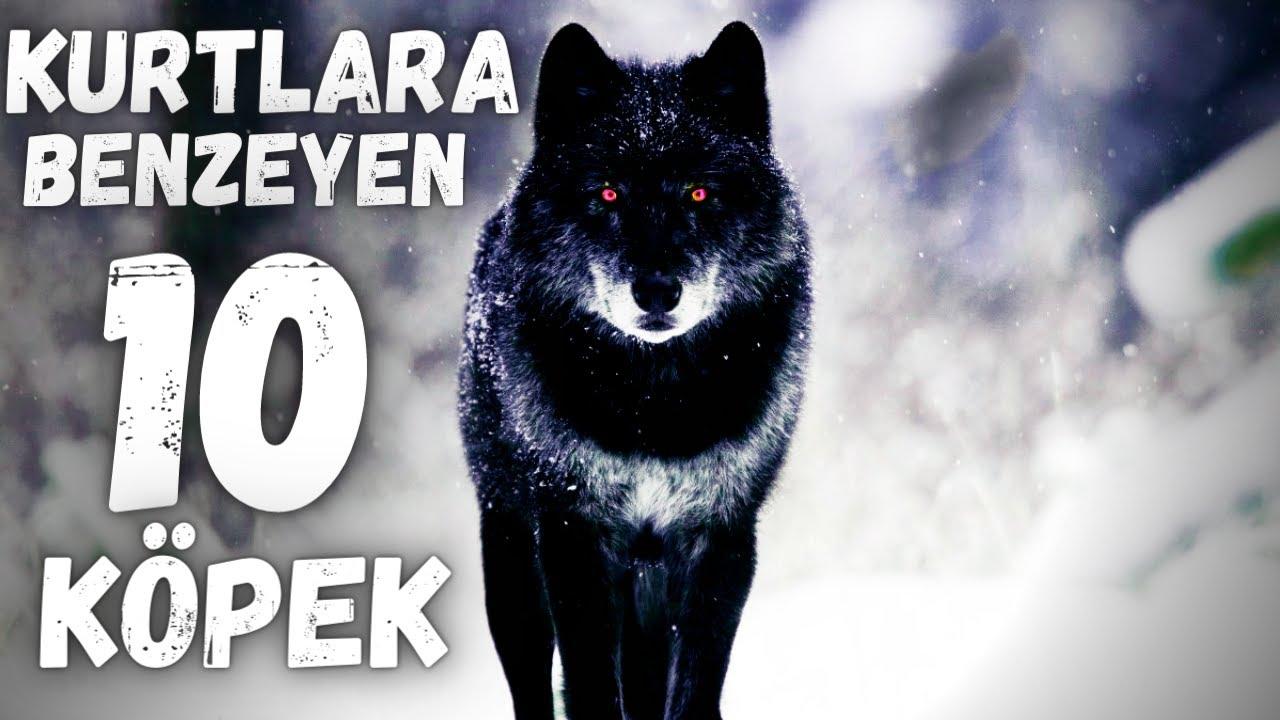 Dünyada KURTLARA BENZEYEN EN BÜYÜK 10 KÖPEK CİNSİ ( SİYAH , ALFA , GRİ BOZ KURT ) #köpek #wolf #kurt