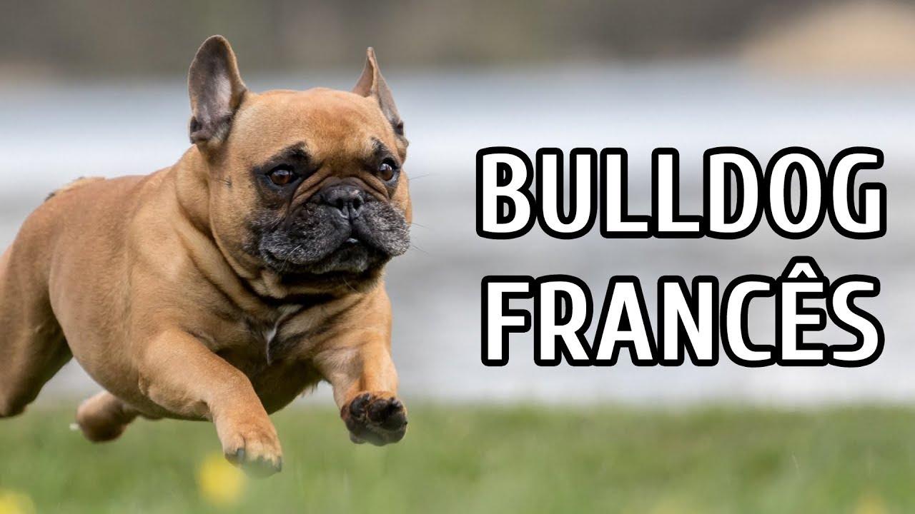 Bulldog franc s sa de e temperamento dicas e - Bulldog frances gratis madrid ...
