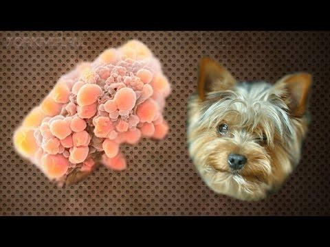 Опухоль у собак | Где возникает | Симптомы | Лечение.