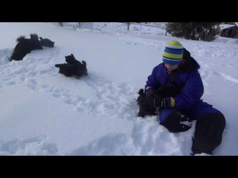 Swedish Lapphund, puppies and adults playing in the snow.