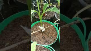 กล้วยป่าด่าง ใบยาว