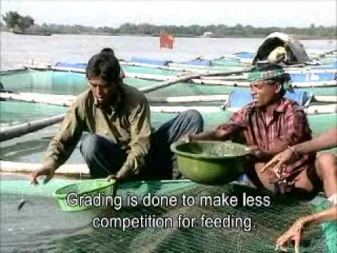 Floating cage fish culture -Helvetas Swiss Intercooperation - English subtitle.wmv