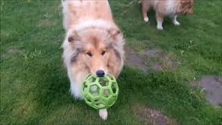 Life with Collie Rough Gracja & Gary