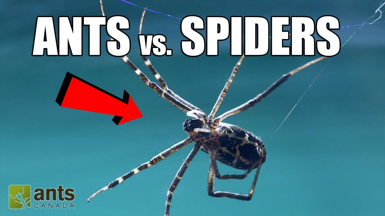 Fire Ants vs  Giant Spiders