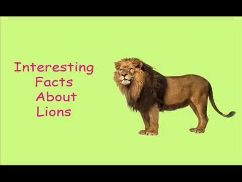 interesting facts about lions-for kids - YouTube