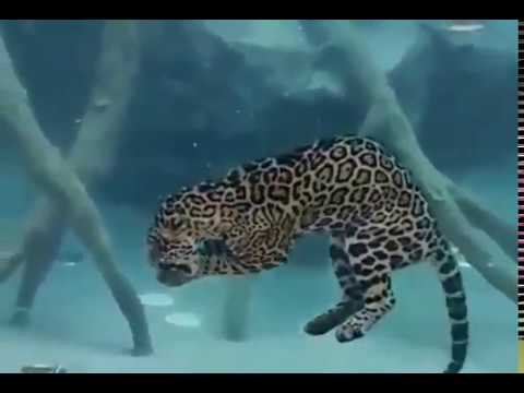 Just A Jaguar Eating Underwater