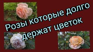 Розы которые долго держат цветок. Тридцать четыре сорта.