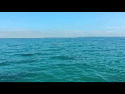 Dugongs in Moreton Bay in Moreton Bay