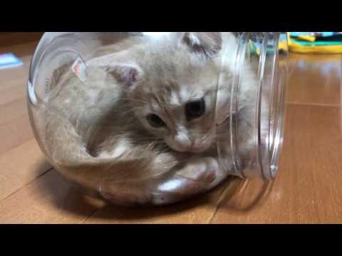 透明のケースがお気に入りになった子猫  Kittens love transparent bottles