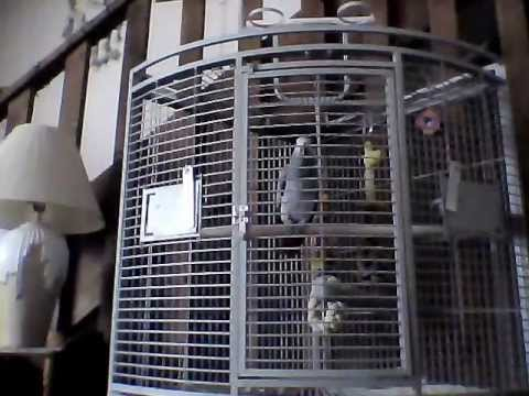 Crazy Talking/Cursing Parrot! XXX rated! FUNNY