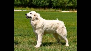 Пиренейская Горная Собака (Рязань)