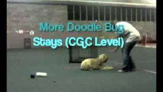 Australian Labradoodle  S.t.a.r. Puppy/c.g.c. Training