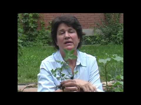 Lambsquarters: Eat the Weeds - Millcreek Herbs