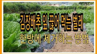 김장배추 배추끊어 먹는 벌레 한방에 퇴치하기