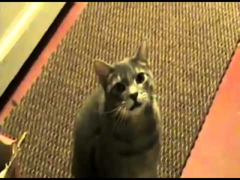 If Cats Said Hey Instead Of Meow Video
