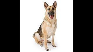 German Shepherd Dog Breed