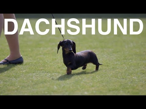 DACHSHUNDS: DO YOU WANT MORE???