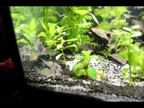 My Spotted Hoplo Catfish from YouTube · Duration:  48 seconds  · 646 views · uploaded on 9/5/2013 · uploaded by Nathyboi5000