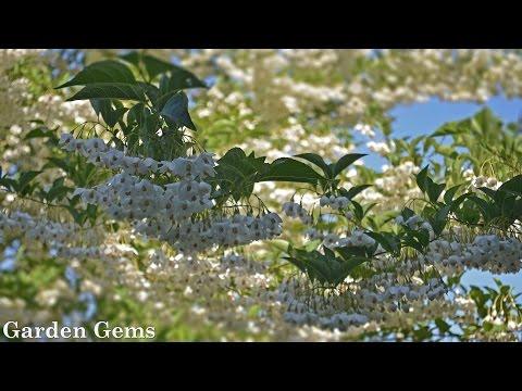 Japanese Snowbell Tree (Styrax Japonicus)