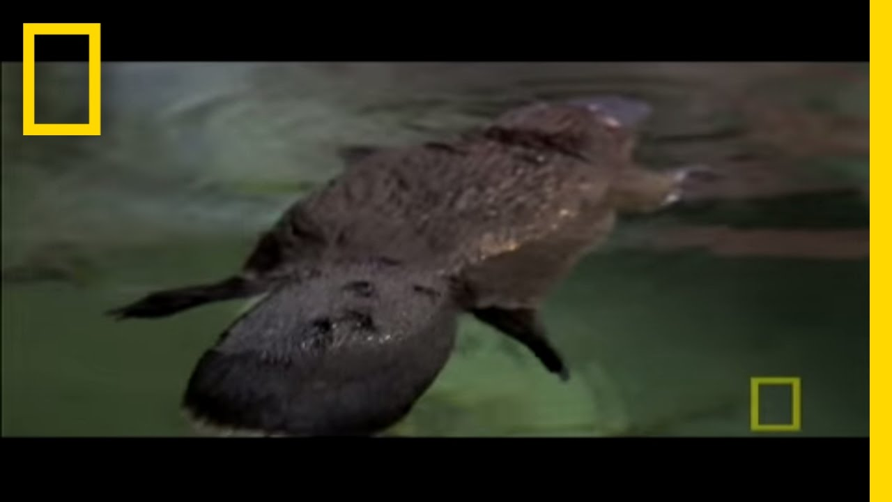 Platypus Parts | National Geographic - YouTube