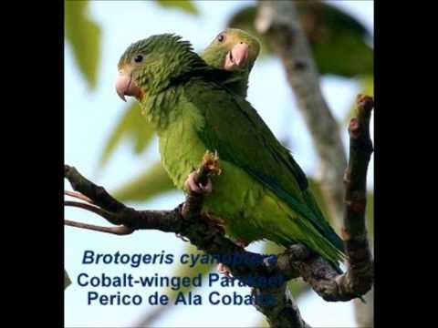 Cobalt -winged Parakeet