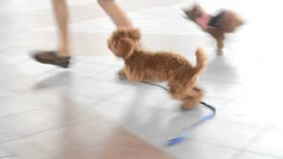 Amber Toy Poodle - Toffee & Amber - Off Leash Play Time