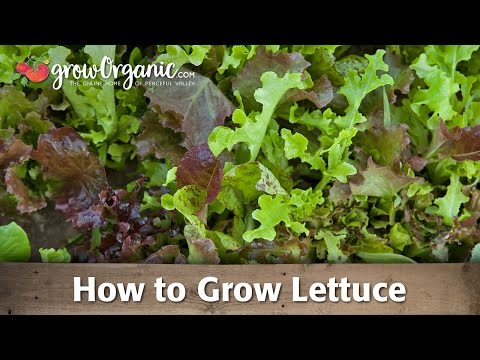 How to Grow Organic Lettuce