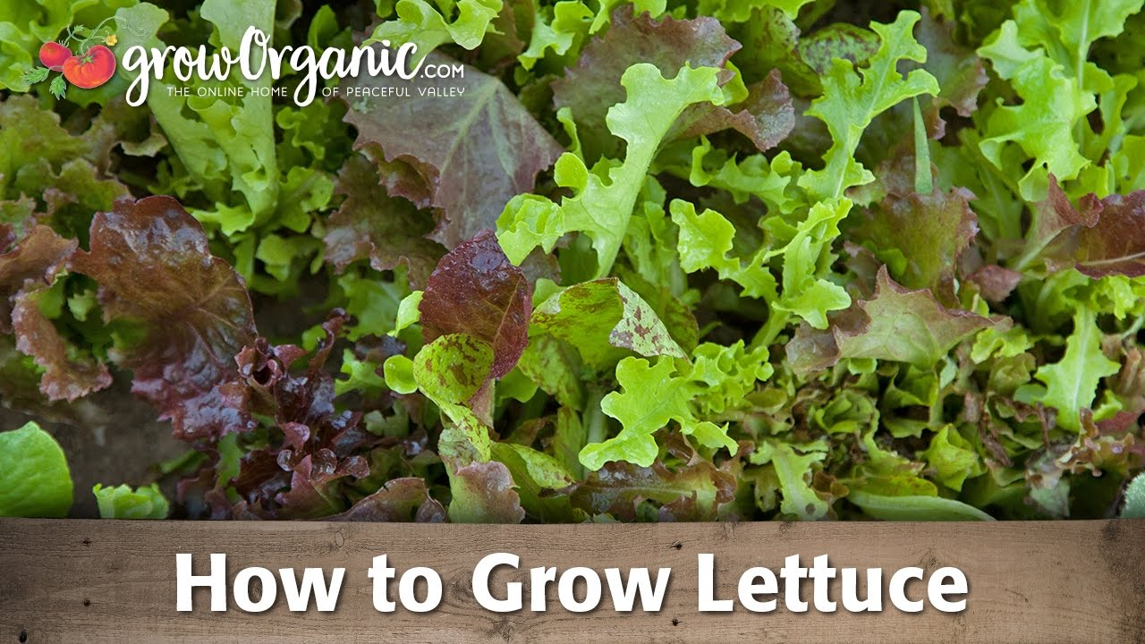 Growing lettuce in a pot - Growing Lettuce