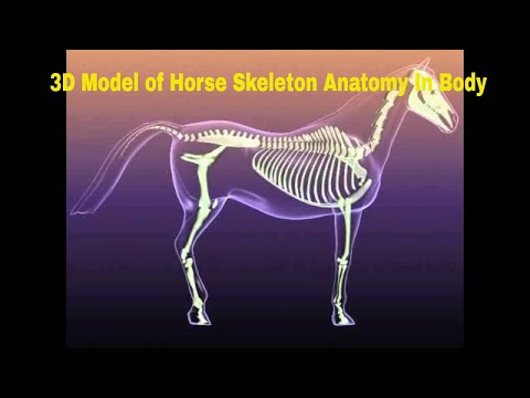 3D Model of Horse Skeleton Anatomy In Body Review - YouTube