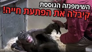 השימפנזה בת ה-59 סירבה לאכול והייתה מוכנה למות — עד שקיבלה ביקור אחד אחרון מחבר ותיק 💔