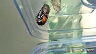 樺斑蝶從蛹羽化成蝴蝶.
