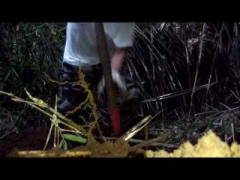 2キロUP自然薯掘り中盤