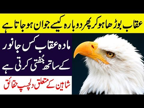 Hidden And Amazing Facts About Eagles In Hindi/Urdu || Shaheen Bird Facts || Auqaab
