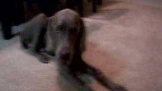 12/14:  Sick Weimaraner, Goose - Walking And Laying In Pain