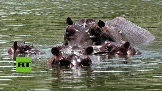 De África a Colombia: Los hipopótamos de Pablo Escobar que aún viven en la Hacienda Nápoles