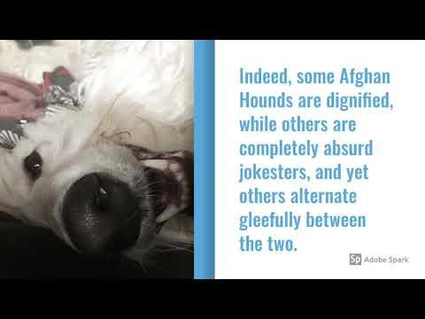 Afghan Hound Dog Breed Info