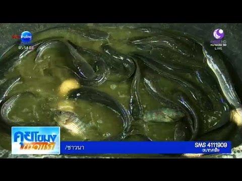 เกษตรสร้างชาติ : เลี้ยงปลาดุก ปลานิล ด้วยหญ้าเนเปียร์ ลดต้นทุน | สำนักข่าวไทย อสมท