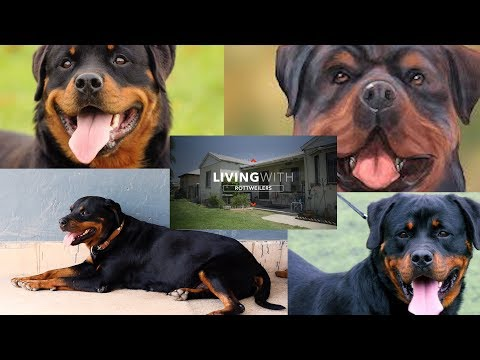 Rottweiler Dog Keeping Tips  Amazing facts about Rottweilers   Animals & Pets   Pets Keeping