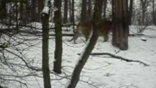 Tygrysy syberyjskie na śniegu - Nowe Zoo Poznań