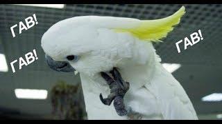 Самый крутой попугай (юмор)  .  The coolest parrot (humor)