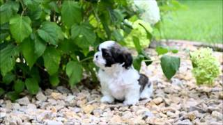 2011-08 - Sweetwater Shih Tzu: Charlie Tip Toes Through The Garden.wmv