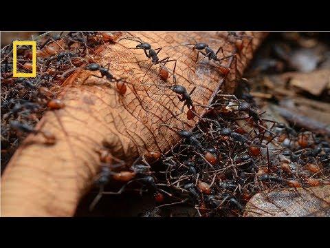national-geographic---army-ants---bbc-wildlife-documentary
