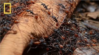 National Geographic - Army Ants - BBC Wildlife Documentary