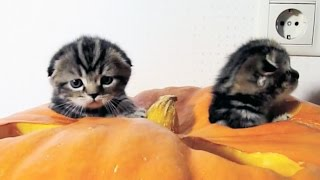 Cute Scottish Fold kittens are preparing for Halloween SUBSCRIBE: h...