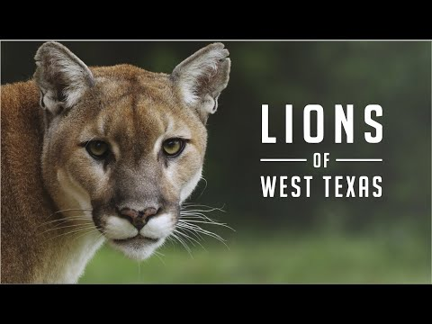 Lions of West Texas