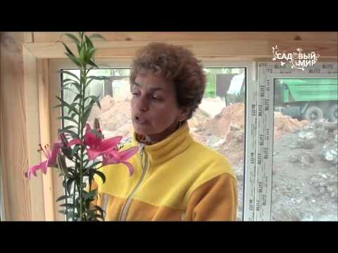 Как сажать лилии с ростками. Сайт Садовый мир